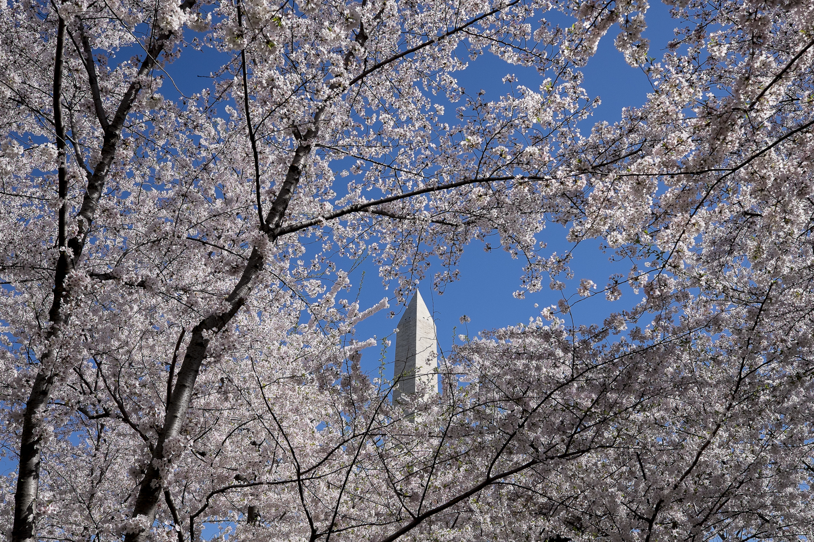 The Washington Monument seen through a grove of Cherry Blossoms in Washington, D.C.